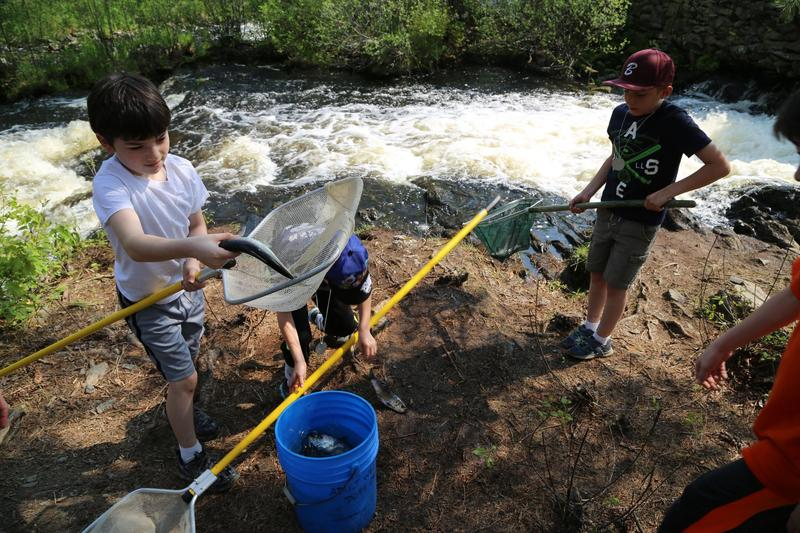 Kids lend a helping hand getting alewives up the fish ladder on on Blackman Stream at Leonard's Mills in May.