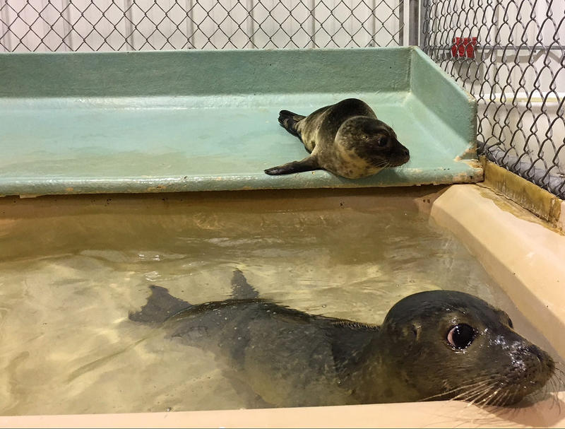 Rescued seals undergoing rehabilitation at Marine Mammals of Maine in Harpswell, seen Aug. 14, 2018.