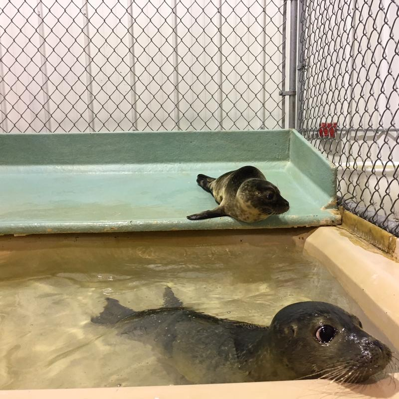 Seals recovering at Marine Mammals of Maine