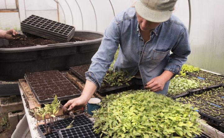 Hannah Hamilton replants tomatoes at Buckle Farm in Unity, May 9, 2016.