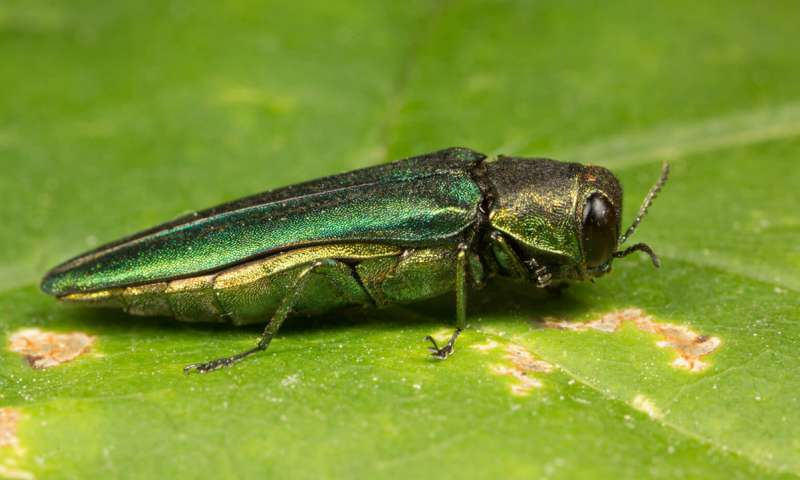 An emerald ash borer on a leaf.