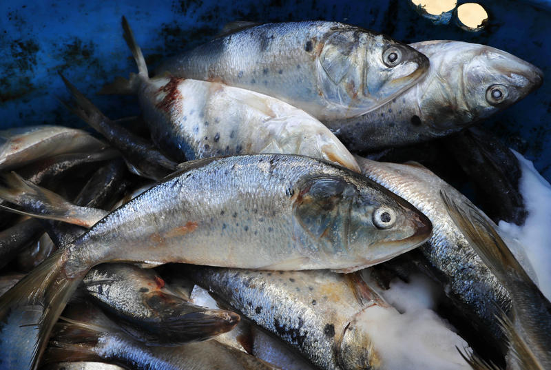 Frozen and salted menhaden sit in a barrel at a lobster bait warehouse, Thursday, Oct. 19, 2017, in Portland, Maine.