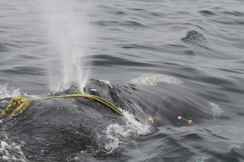 """In this April 12 photo taken by Lisa Sette on Stellwagen Bank off of Massachusetts, a right whale known as """"Kleenex"""" is entangled in fishing gear."""