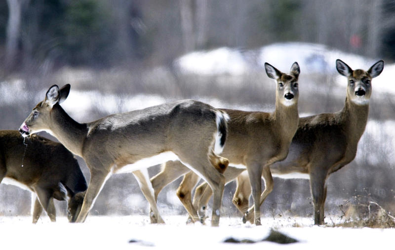 Deer gather in a field, Wednesday, April 9, 2003, in Patten, Maine.
