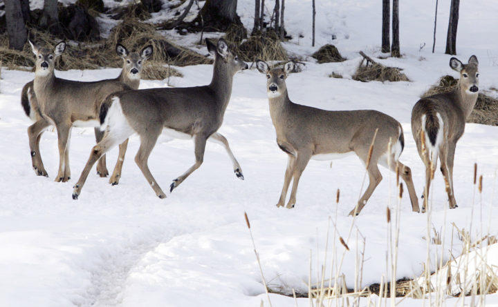 A small herd of deer feed on the grounds of Spruce Cone Cabins and Campground, in Pittsburg, New Hampshire.