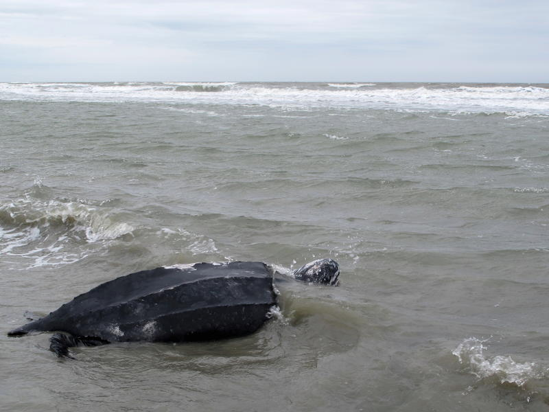 Yawkey, a rare leatherback sea turtle, moves off the beach at the Isle of Palms, S.C., on March 12, 2015. The turtle was being returned to the the Atlantic Ocean after it was treated for five days at the South Carolina Aquarium.