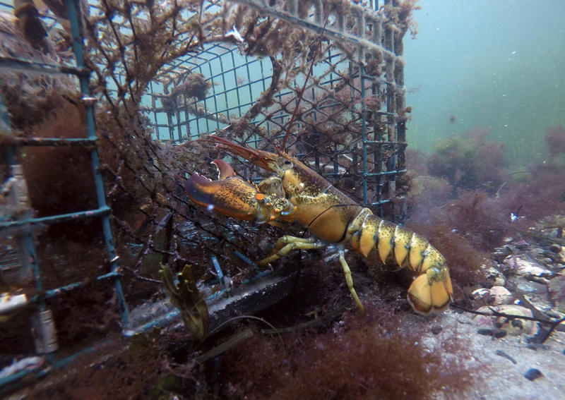 In this Saturday, Sept. 8, 2018 photo, a lobster walks into a lobster trap on the floor of the Atlantic Ocean off Biddeford, Maine.
