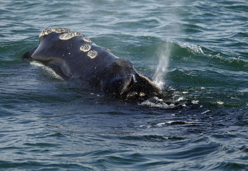 In this March 28, 2018 file photo, a North Atlantic right whale feeds on the surface of Cape Cod bay off the coast of Plymouth, Mass.