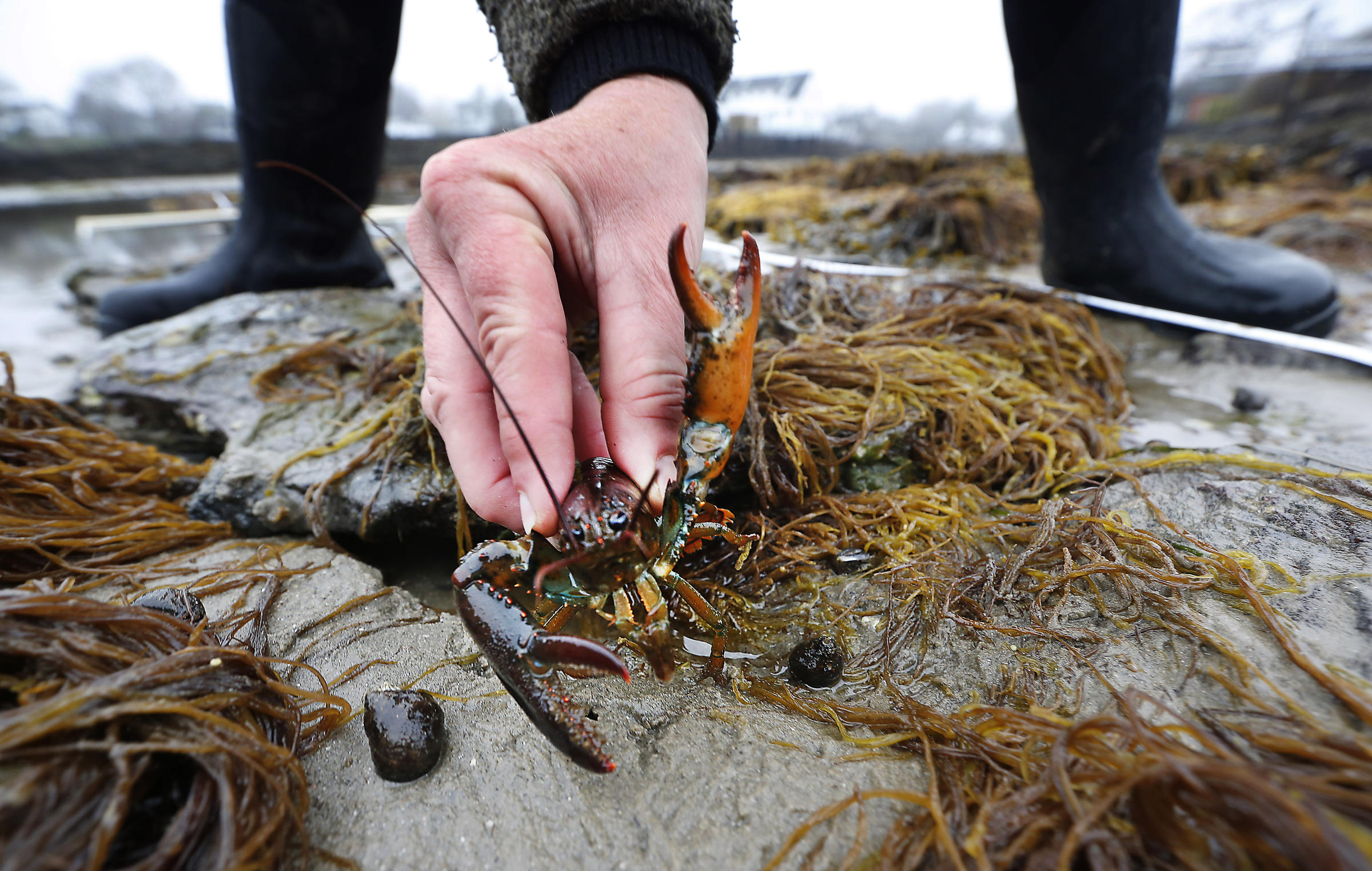 Maine Delegation Sounds Off to EU Over Sweden's Proposed Lobster Ban