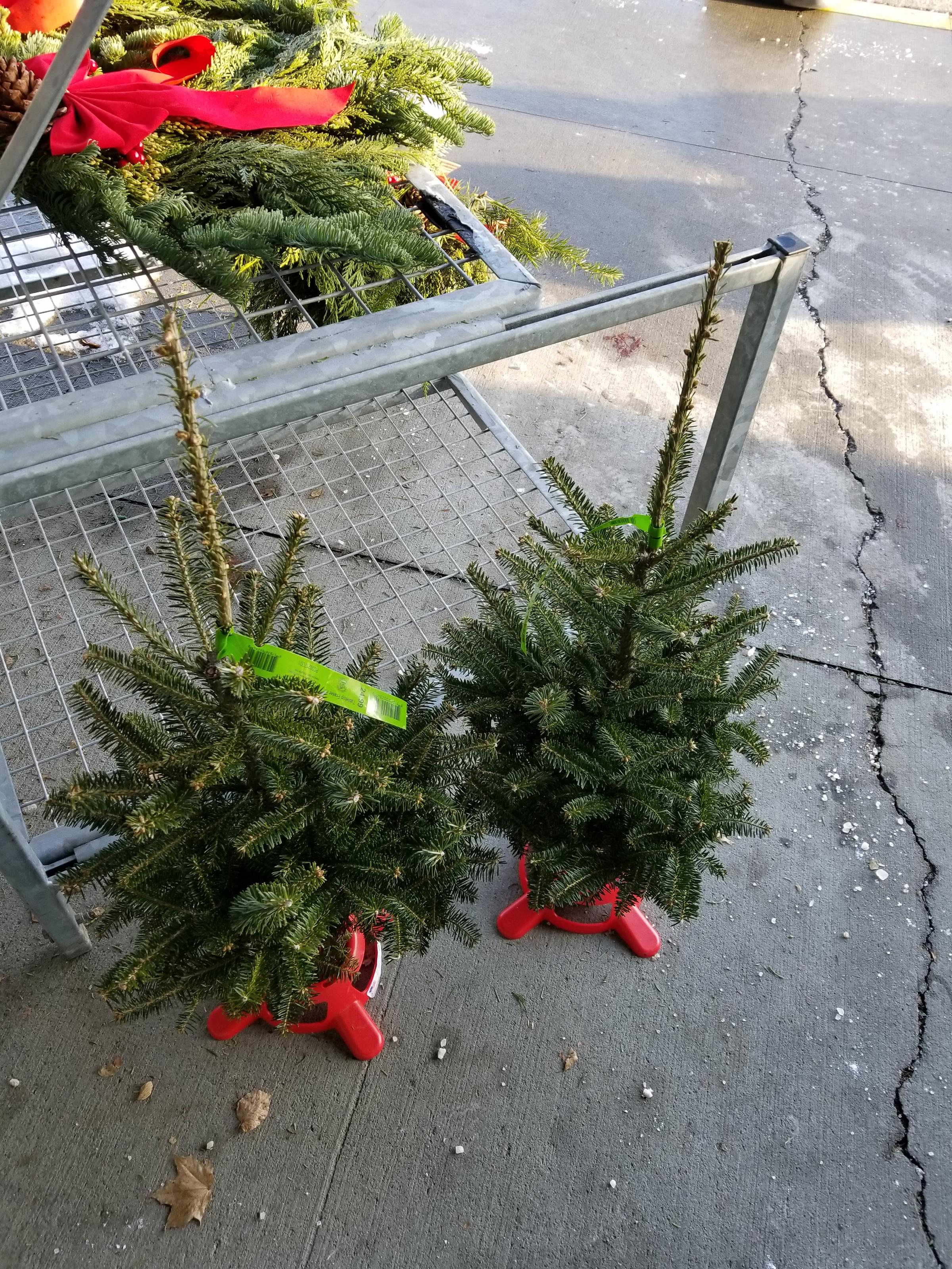 a pair of tiny trees waiting to be bought at a hannaford store in bangor - Hannaford Christmas Hours