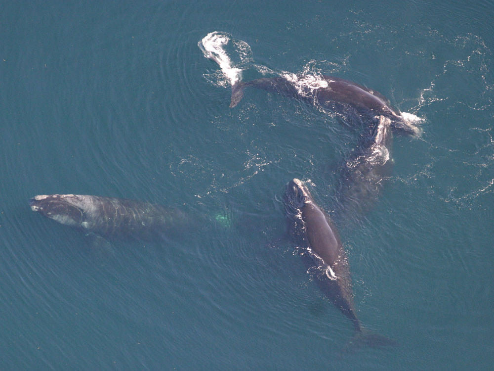 Researchers Call For New, Ropeless Lobster Traps To Help Save Right Whales   Maine Public