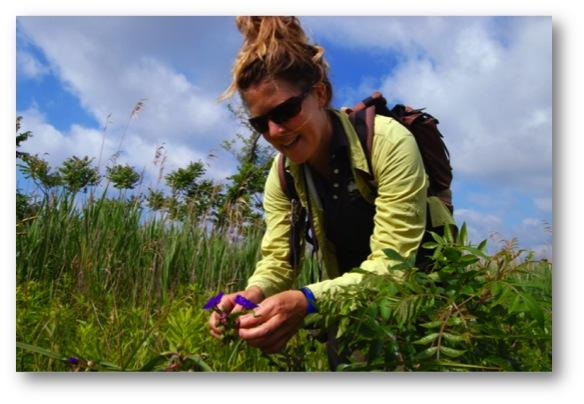 Heather Liljengren, a field taxonomist with the New York City Department of Parks and Recreation, examines the seed pods of the Virginia spiderwort at Oakwood Beach, Staten Island. Liljengren collects seeds from across the region for a seed bank of native