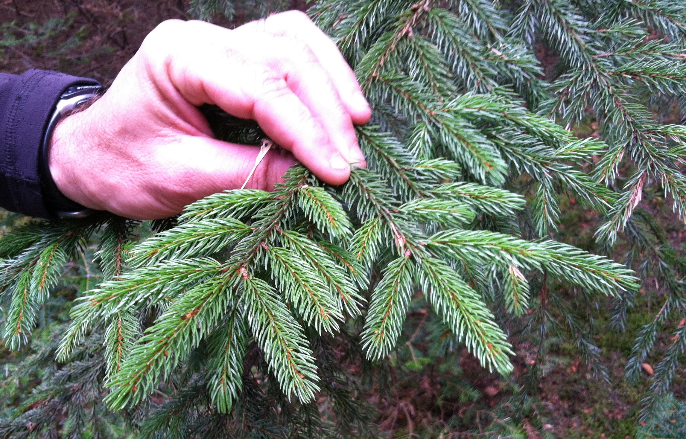 How does the spruce grow