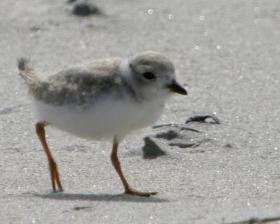 A piping plover chick walking on the sand