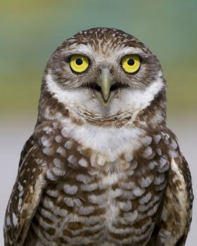 Once a common species in California and across North America, the Western burrowing owl has become a rarer and rarer sight over the last three decades given habitat loss and other environmental perils the bird faces.