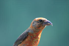 The Red Crossbill.