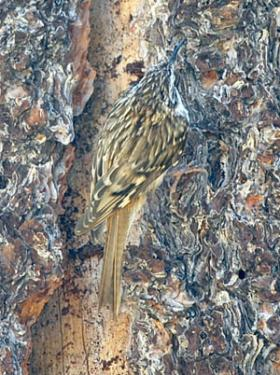 The tree-bark pattern of the Brown Creeper helps the bird to stay well hidden.