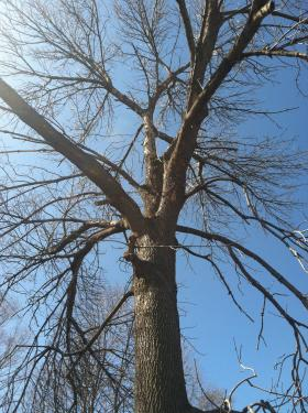 The first tree discovered in the state with an ash borer infestation.