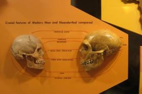 Cranial comparison between Modern Man and Neanderthal from the Cleveland Museum of Natural History.