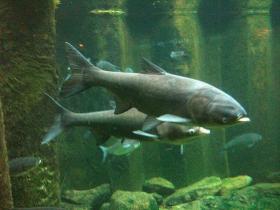 A pair of silver carp in Shedd Aquarium's invasive species exhibit.