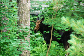 This moose dropped by the south end of Concord over the weekend, stopping in the yard of NHPR's Brady Carlson. No word yet on whether the moose is an All Things Considered fan.