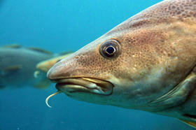 The Gulf Of Maine Cod is one of the species of fish affected by the federal groundfishing regulations.