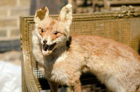 This taxidermied fox is SHOCKED by the results of this quiz.