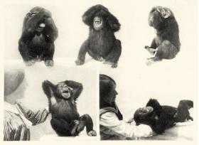 This photo was used to illustrate Schuster's story with the following caption: Photographs from Nadezhda Ladygina-Kohts, Infant Chimpanzee and Human Child. Originally published in 1935, the book offers a comparative study of the behavior of a human child (Ladygina-Kohts's own son Roody) and an infant chimpanzee named Joni. The bottom two images in this plate show Joni reacting to being tickled.