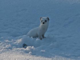 A Least Weasel in the snow