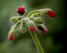 Geranium buds.