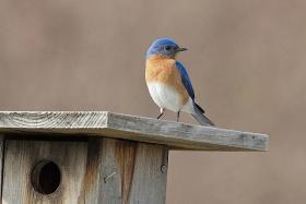 Eastern bluebird at a nest box. Hadley, MA.