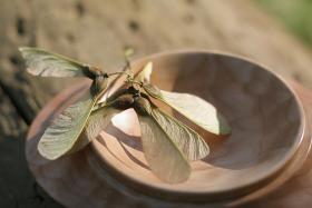 Maple seed samara.