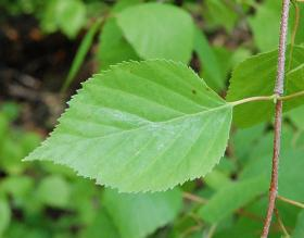 Twig and leaf of a white paper birch tree.
