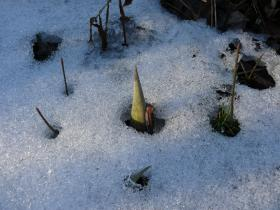 Skunk cabbage peeking out of the snow.