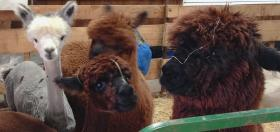 The festival includes many different kinds of fiber-bearing animals, including these alpacas