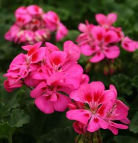 The ever popular geraniums.
