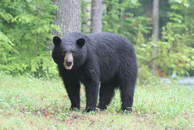 A black bear spotted in NH