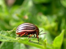 The dreaded potato beetle.