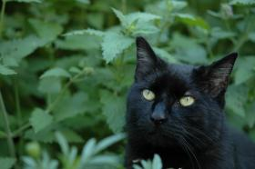 An Iowa State University report found that catnip is even better than DEET at keeping mosquito at bay. Cats agree.