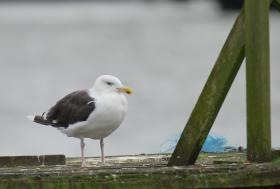 A familiar favorite: the Great Black-backed Gull