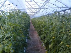 Don't expect a lot of hydroponic winter tomatoes, says Brian Krug. Most varieties need more light and heat than New Hampshire gets in the coldest months.