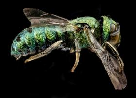 """""""A Beautiful Invasive. Ceratina smaragdula, male, captured on Hawaii, Oahu, March 2012. This Asian species, along with others has invaded the Hawaiian islands where it thrives in sea of introduced garden plants found at lower elevations on the islands."""" -USGS Bee Inventory and Monitoring Lab"""