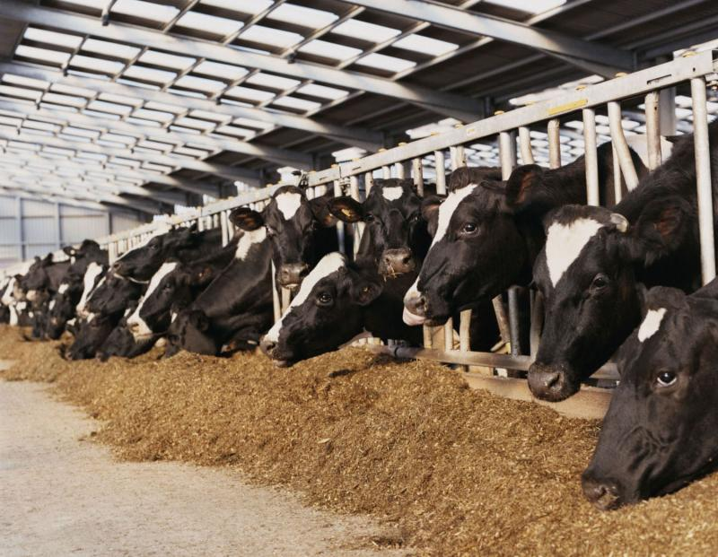 David Pimentel of Cornell University's College of Agriculture and Life Sciences says that the grain currently fed to some seven billion livestock in the United States could feed nearly 800 million people directly.