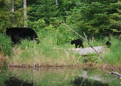Bears at Crawford Notch Campground.