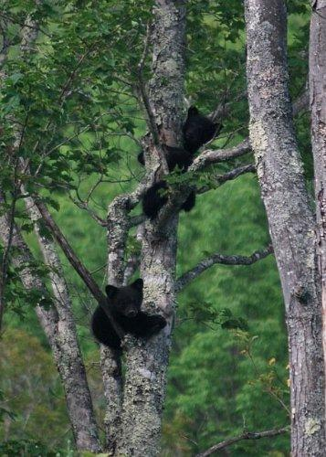 Bears in a tree at Crawford Notch Campground