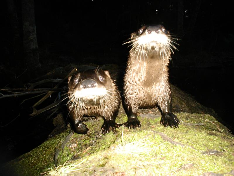 Two otters eye the camera curiously.