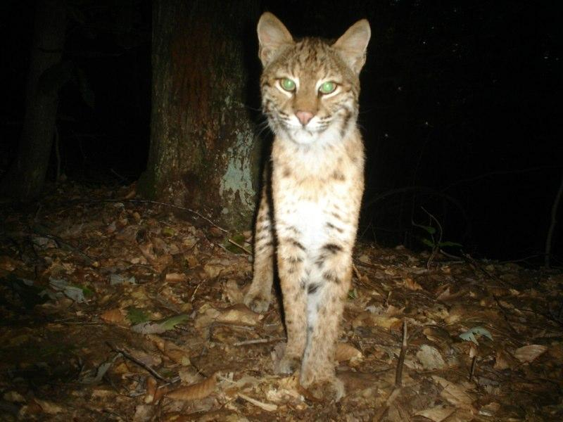Bobcats, while difficult to catch in person, frequently turn up in Abdu's lens