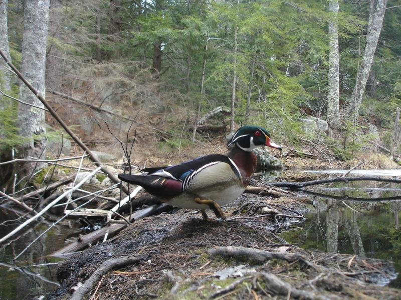 Wood ducks are skittish can be difficult to photograph in person, not so with trail cameras.