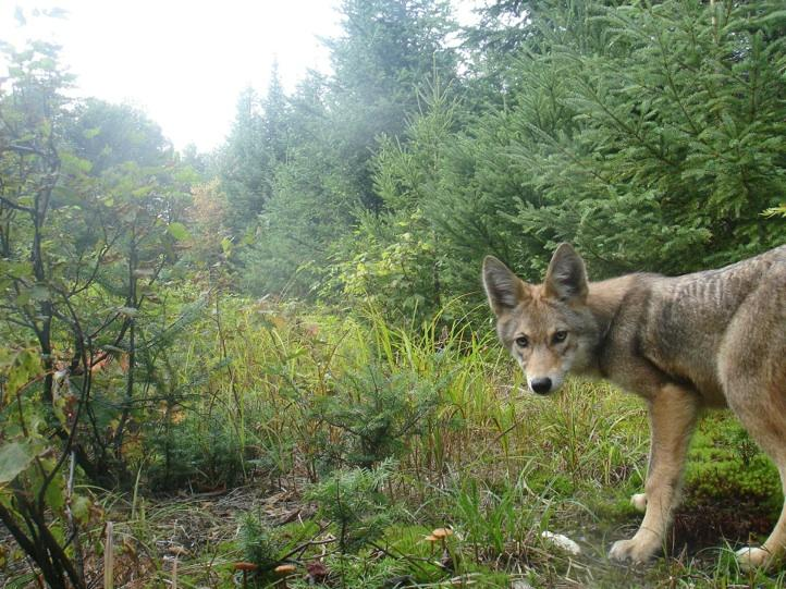 A coyote turns to see one of Peter's homebrew trail cameras.