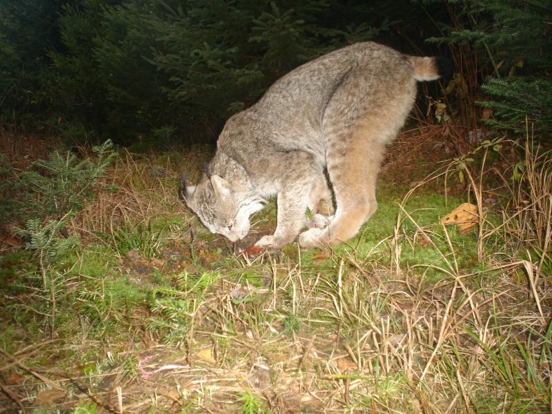 The best of Abdu's images of a Canadian Lynx. The cat stops to smell a scent that Peter put down in front of the viewfinder.